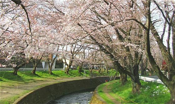 引地川の千本桜