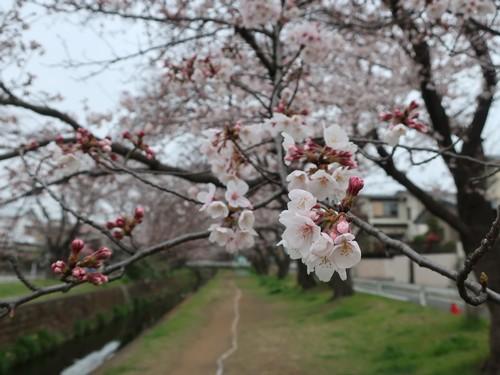 千本桜3‗こよみふせん
