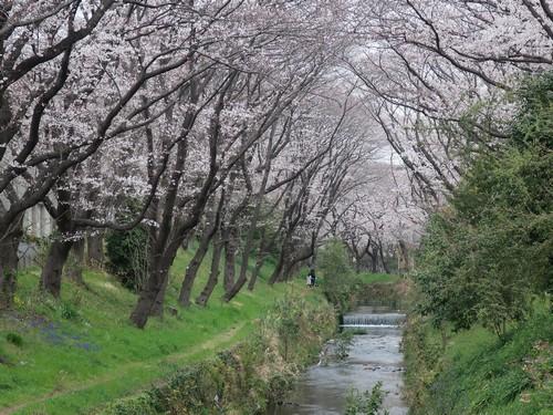 千本桜4‗こよみふせん